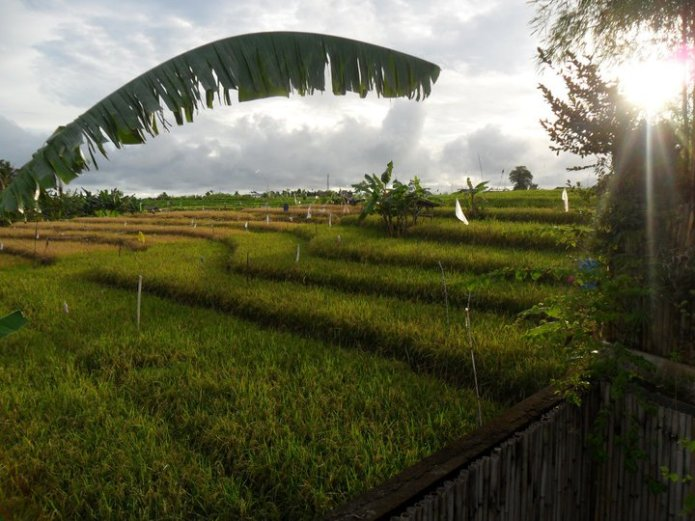 View of rice paddies from the villa balcony